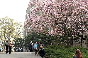 The Lily Magnolia in the campus